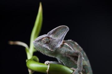 Green chameleon on bamboo, lizard background