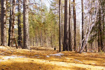 Melting snow in the forest in bright sunlight