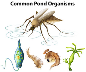 Common pond organisms diagram