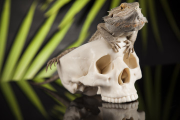 Skull, Agama bearded, lizard background