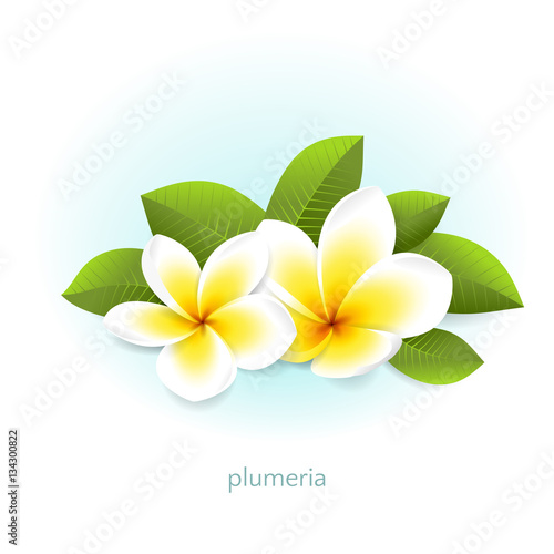 Vector realistic plumeria with leaves white tropical flowers vector realistic plumeria with leaves white tropical flowers frangipani from asia and hawaii isolated mightylinksfo