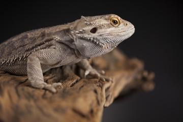 Agama bearded, pet on black background, reptile