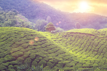 Wall Mural - tea plantations sunset