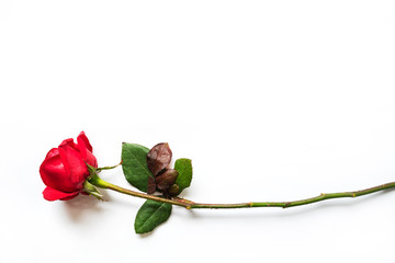 the red rose isolated on white background, Valentine day