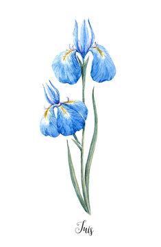 Watercolor blue wild iris flower