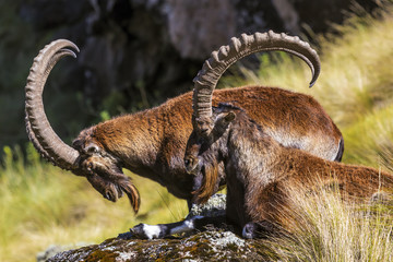Walia Ibex (Capra walie; also known as Abyssinian ibex), males. Ethiopia, Simien Mountains National Park