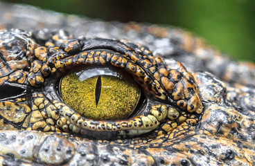 Photo sur Plexiglas Crocodile crocodile eyes