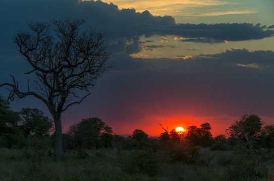 Kruger National park beautiful sunset in the African savanna with big tree and lush vegetation in the foreground under cloudy sky on a summer evening