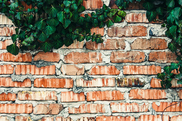 old brick fence with Ivy leaves texture