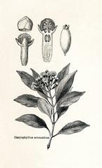 Clove tree (Syzygium aromaticum, Caryophyllus aromaticus) (from Meyers Lexikon, 1895, 7/542/543)