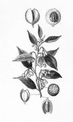 Nutmeg tree (Myristica fragrans) (from Meyers Lexikon, 1895, 7/542/543)