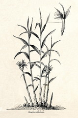 Ginger (Zingiber officinale) (from Meyers Lexikon, 1895, 7/542/543)