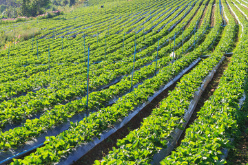 Fresh Strawberry field on the mountain