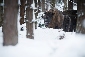 European bison in the beautiful white forest during winter time, bison bonasus, european animals, prehistoric creature, zidlov nature reserve in czech republic