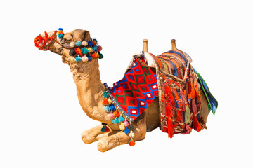 Egyptian camel isolated on white