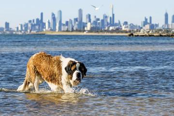 St Bernard Dog Swimming at Beach Melbourne Australia