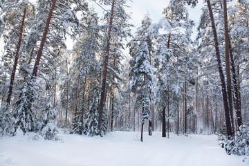 Зимний сосновый лес.