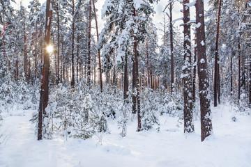 Зимний лес в солнечном свете.