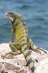 Leguan in der Karibik