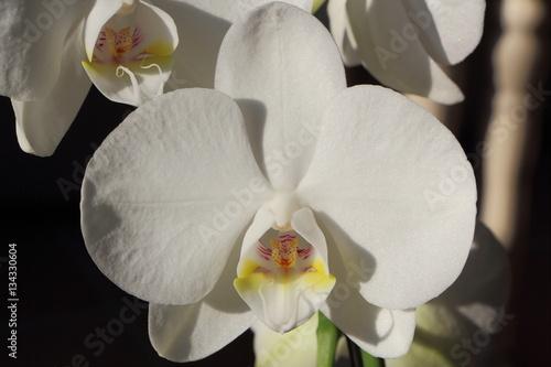 foto orchidee bull 52 - photo #18