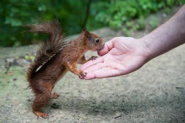 Zutrauliches Eichhörnchen frisst aus der Hand