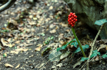 Forest detail.  Berries in the forest.