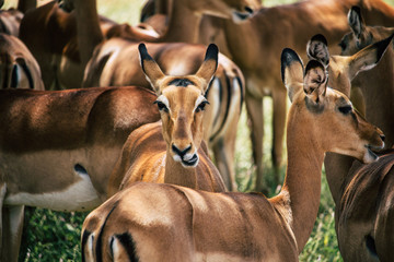 Portrait of a gazelle in the group that looks into the camera