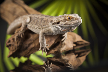 Root Bearded Dragon, Agama Lizard on black mirror background