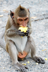 Cute monkey lives in a natural forest of Thailand,Baby monkey eating corncob.soft focus of animal wildlife.