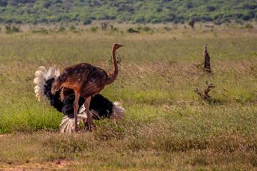 Ostrich male courting a female