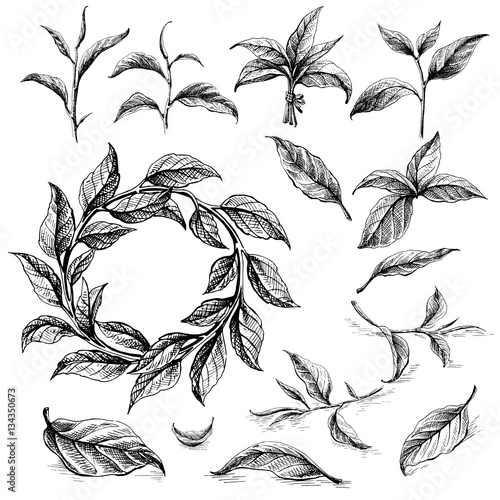 Collection Of Tea Leaves Green Black Pekoe In Graphic Style Hand