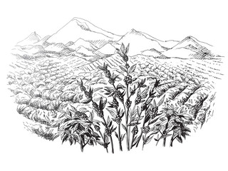 coffee plantation landscape in graphic style
