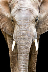 Elephant Face Closeup Looking Forward