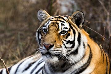 portrait of a beautiful tiger