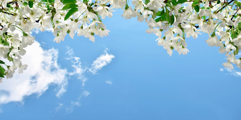Flowering cherry, sky with clouds. Spring background. Panorama.