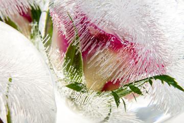 Rosenblüte in Eiskugel