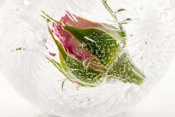 Rosenknospe in kristallklarem Eis