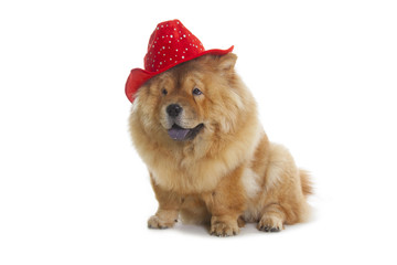 Wall Mural - chow-chow dog with red hat