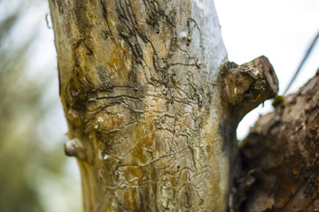 Tree trunk destroyed by bark beetles