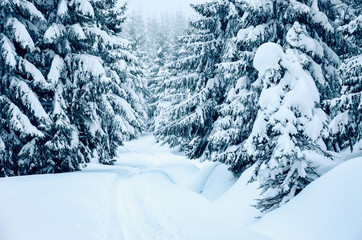 Trees covered by fresh snow in the mountains while cross-country skiing
