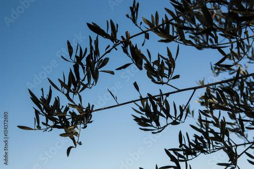 Foglie di ulivo immagini e fotografie royalty free su for Acquisto piante ulivo