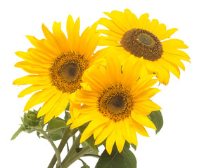 Three sunflowers isolated on white background. Flower bouquet. T