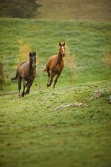 Bay horses galloping in a field.