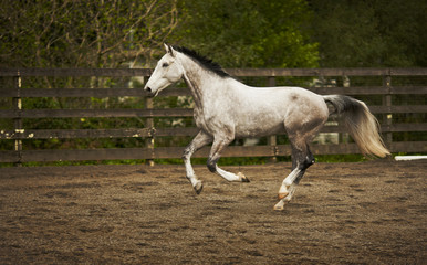 Dappled grey horse canters in a exercise yard.