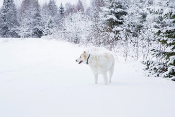 White dog in the white snow in winter day at hunting in the countryside forest. Dog is watching, listening, smelling and also feeling. Human's best friend.