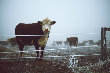 Wall Mural - Cow in the winter pasture
