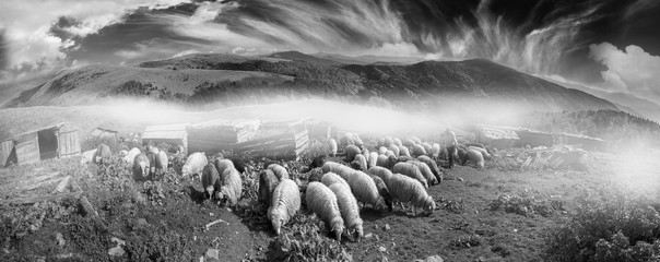 Black and white photo of sheep