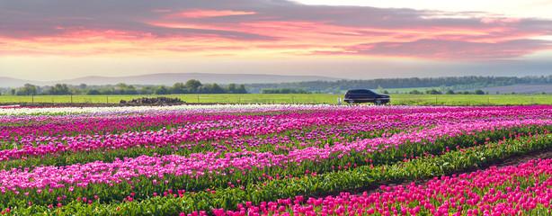 Tulips in the Carpathian region