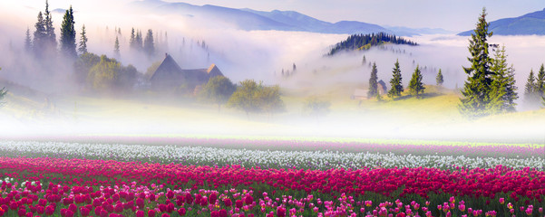 Field of tulips in the Carpathians