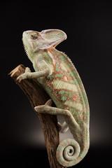 Chameleon lizard isolated on black background